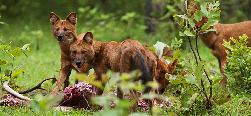 Hunting with Dholes (Wild Dogs) in Nagarhole National Park