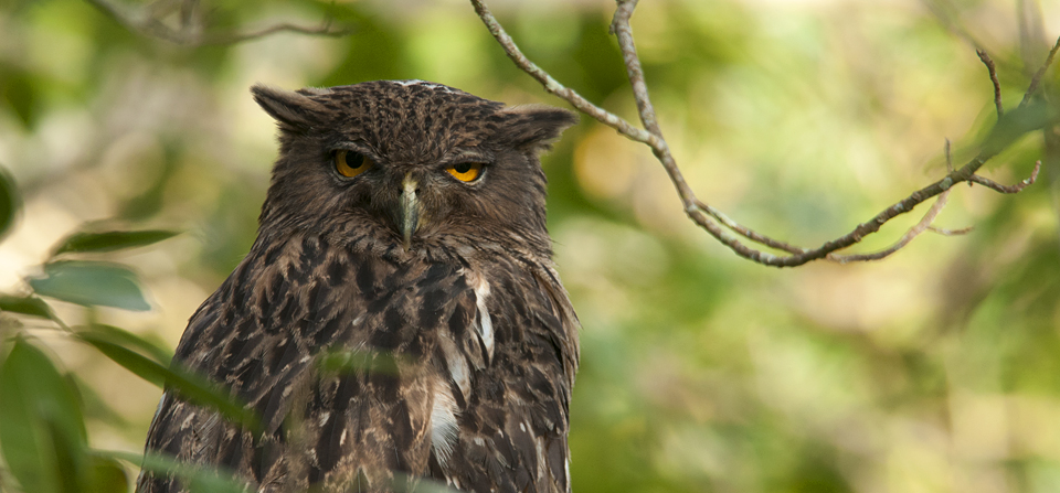 Brown Fish Owl with Coral Snake kill in BR Hills