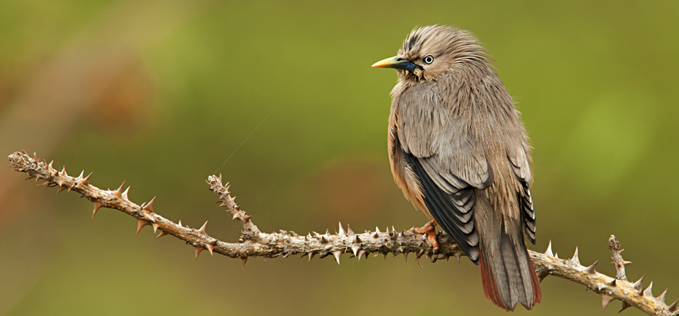 Chesnut-tailed Starling photographed at Forest Hills, Masinagudi