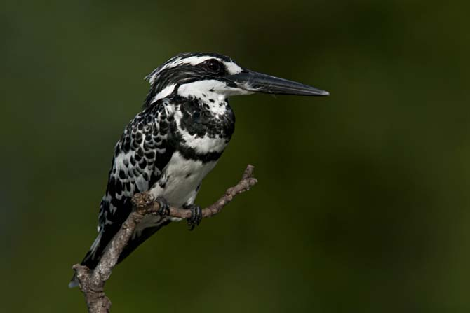 Kingfishers found in India