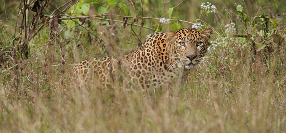 Dream sighting of a Leopard in Nagarhole National Park
