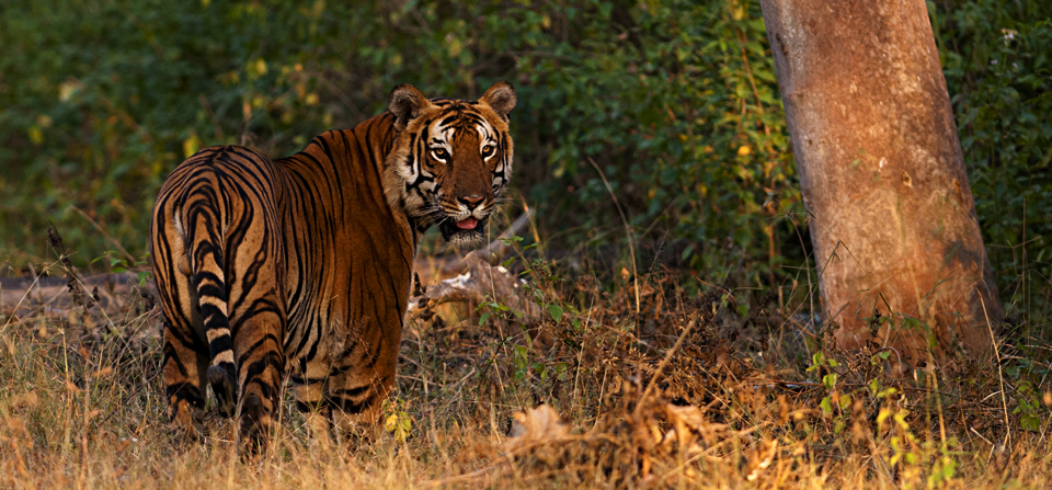 Majestic Bengal Tiger in golden evening light in Bandipur National Park