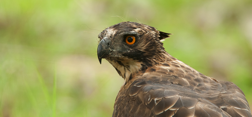 Mountain Hawk Eagle with Malabar Giant Squirrel kill