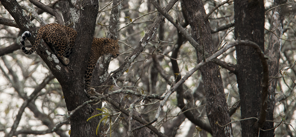 Following a Leopard hunting Langurs in Nagarhole National Park