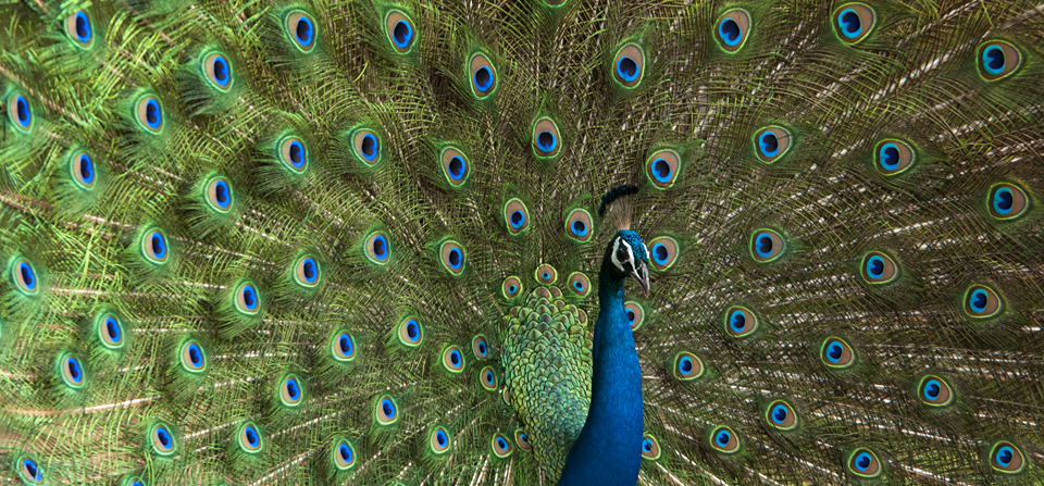 Gorgeous courtship dance of India's national bird – The Peacock