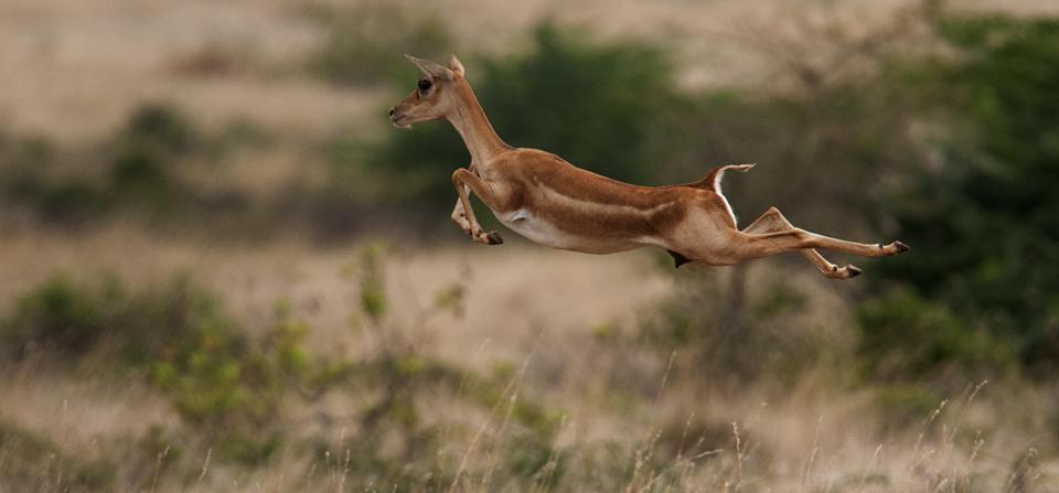Blackbuck Antelope is the most beautiful Indian Antelope