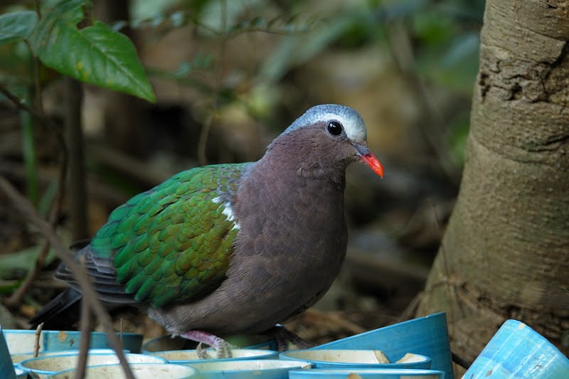 Emerald Dove in Birds of Corbett National Park
