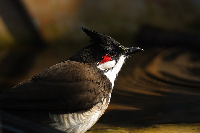 Red-whiskered Bulbul in Birds of Corbett national park