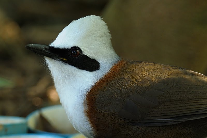 Laughing Thrush in Birds of Corbett Nation Park