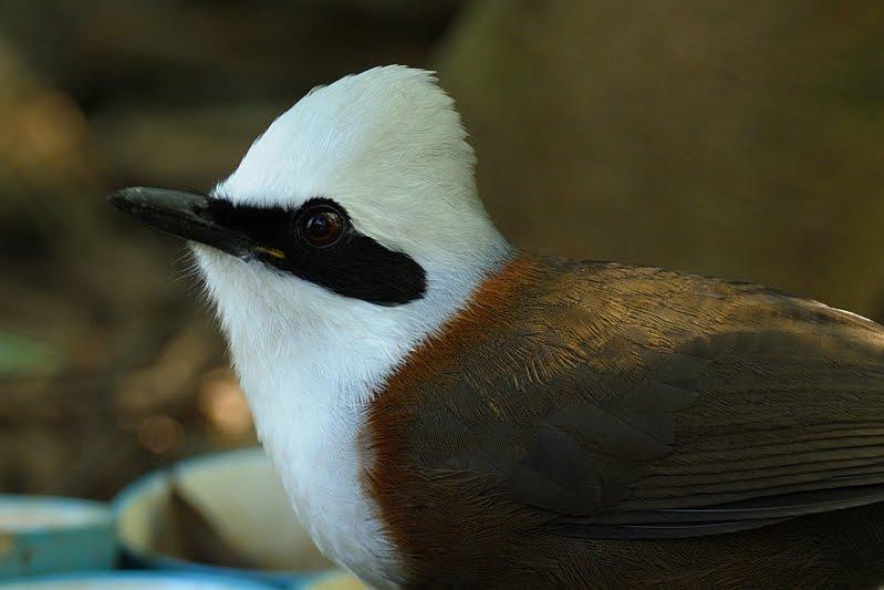 Laughing Thrush in Birds of Corbett Nation Park
