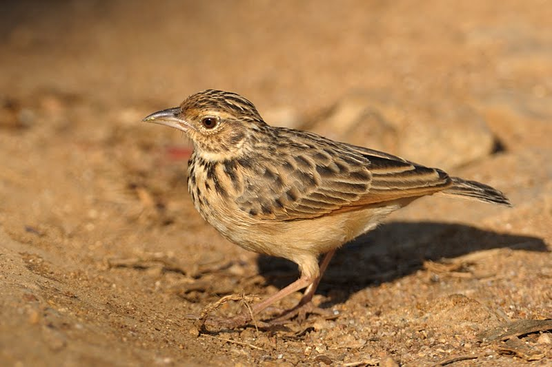 Birds of India #69 : Indian Bushlark