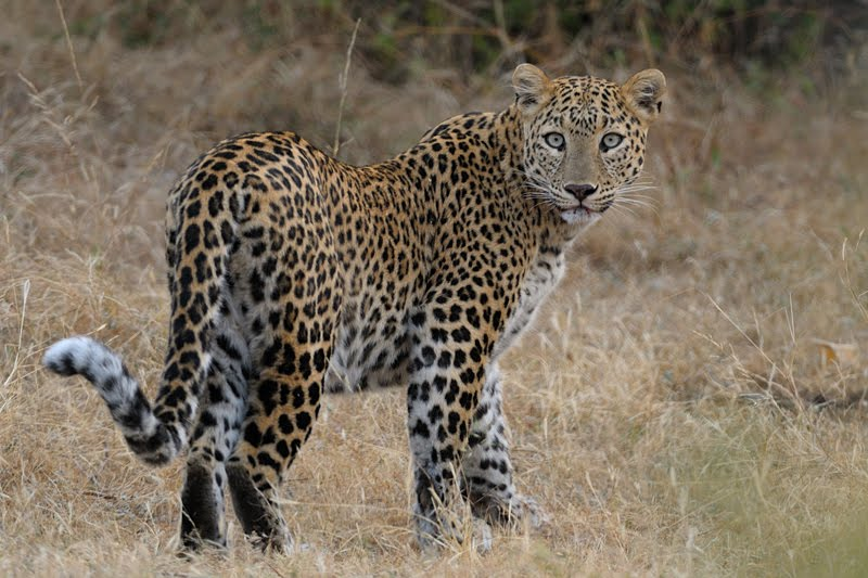 Animals of India #45 : The Leopardess of Bera