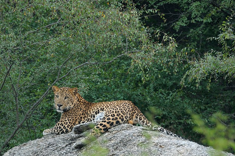 Animals of India #46 : The Leopard of Bera