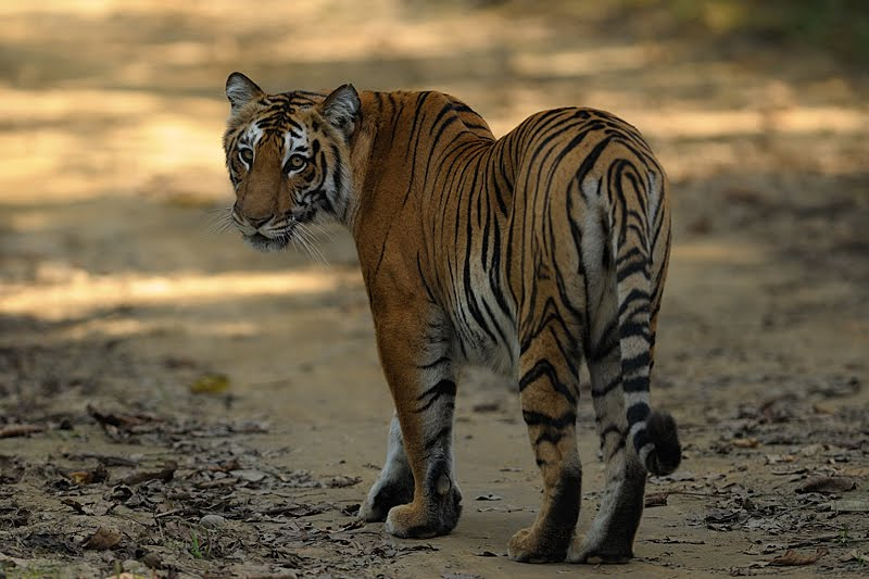 Thrilling Tiger sighting in Corbett National Park