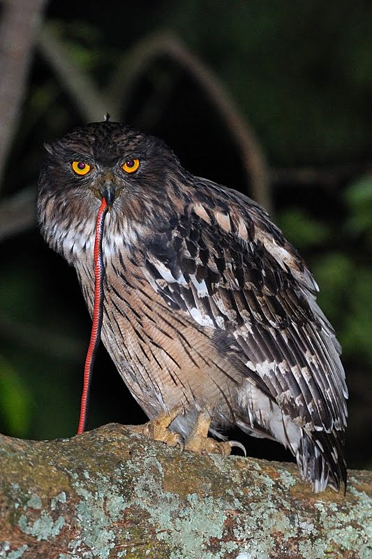 Birds of India #71 : Brown Fish Owl
