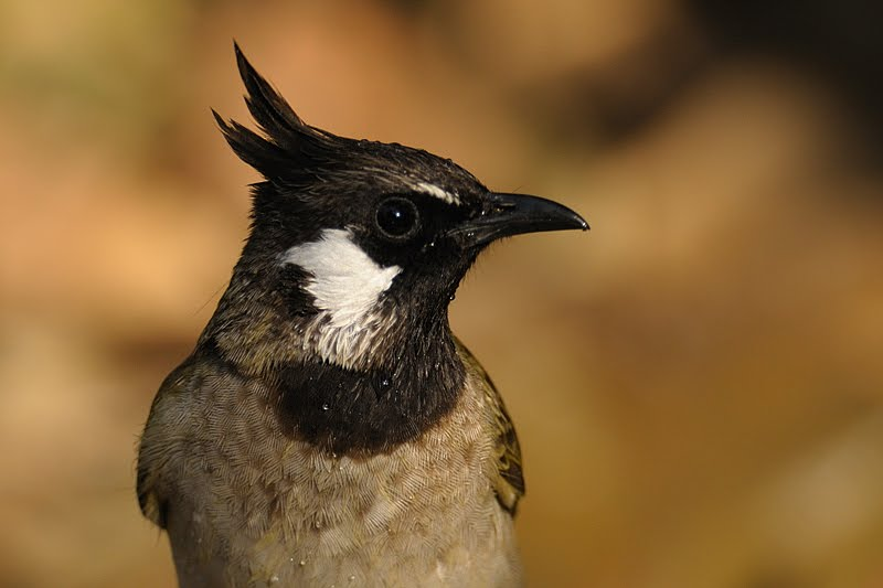 Himalayan Bulbul in birds of Corbett National Park