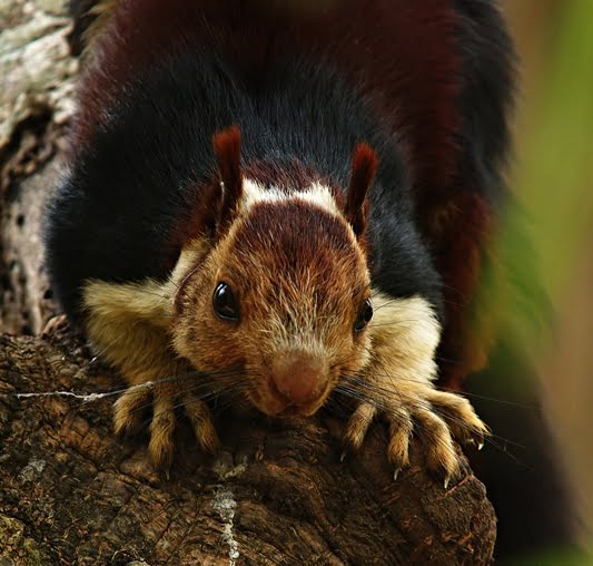 The Malabar Giant Squirrel – The most beautiful of Indian Squirrels