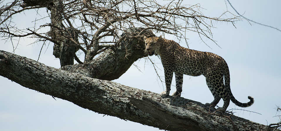 Animals of Africa #1 – Leopard hunting a Wildebeest