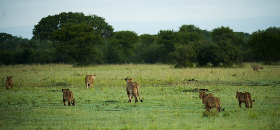 Animals of Africa #2 – A morning with a pride of Lions