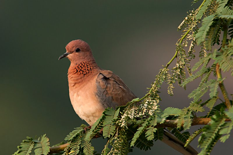 http://walkthewilderness.net/wp-content/uploads/2011/04/Laughing-Dove.jpg