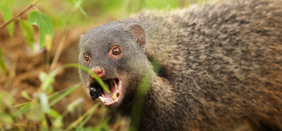 Animals of India #49 : Portraits of a Stripe-necked Mongoose