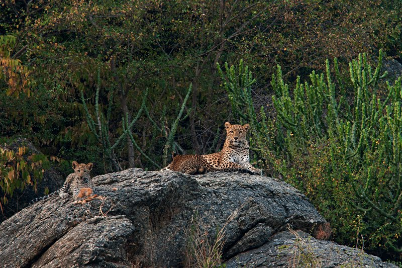 Animals of India #50 : Leopard cubs – The Princes of Bera
