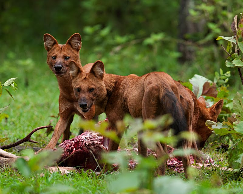 The Endangered species of Pack Hunters – Dhole (Wild Dog)