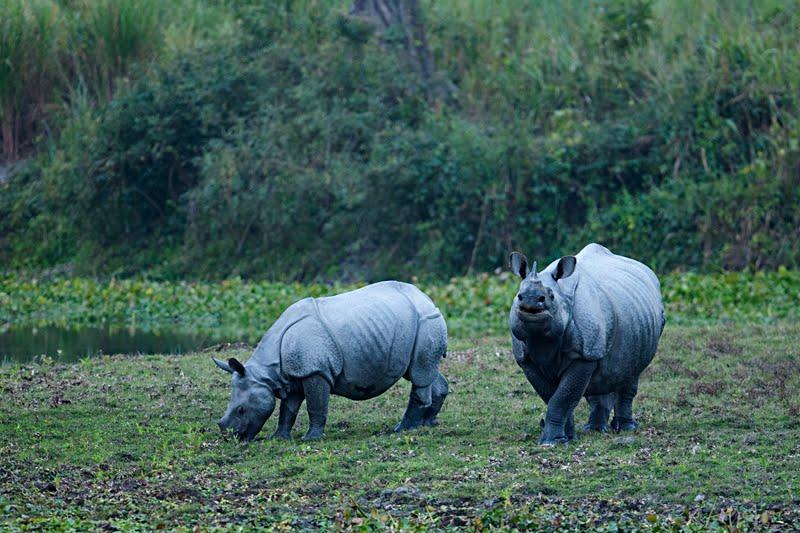 Animals of India #54 : Indian Rhinoceros maternal behavior