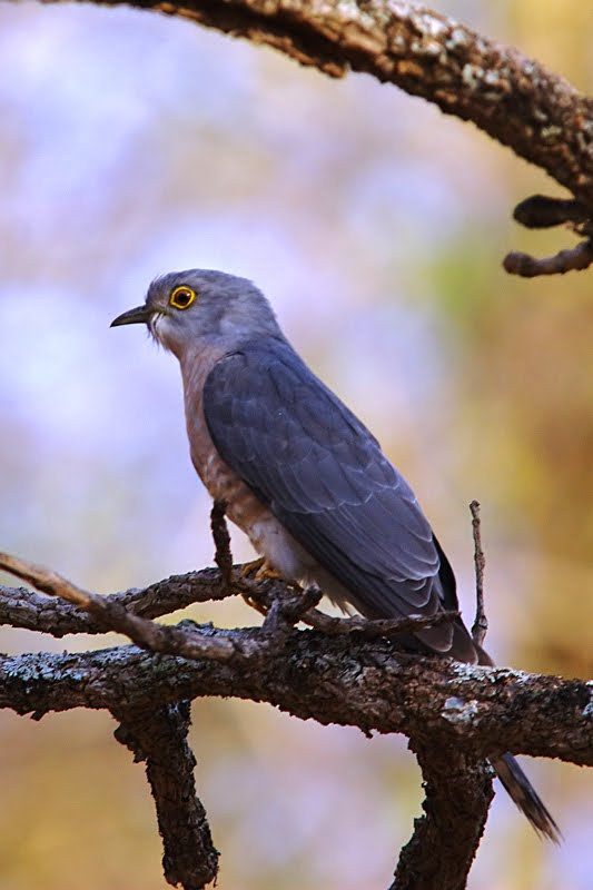 Birds of India #74 : Common Hawk-Cuckoo