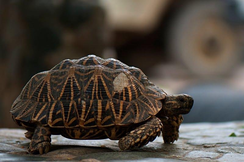 Reptiles of India #4 : Star amongst Tortoises – Indian Star Tortoise