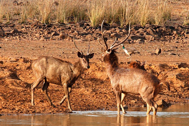 Animals of India #55 : A evening with a Sambar Deer family