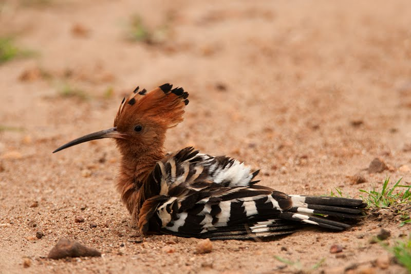 Birds of India #75 : Hoopoe taking a mud bath