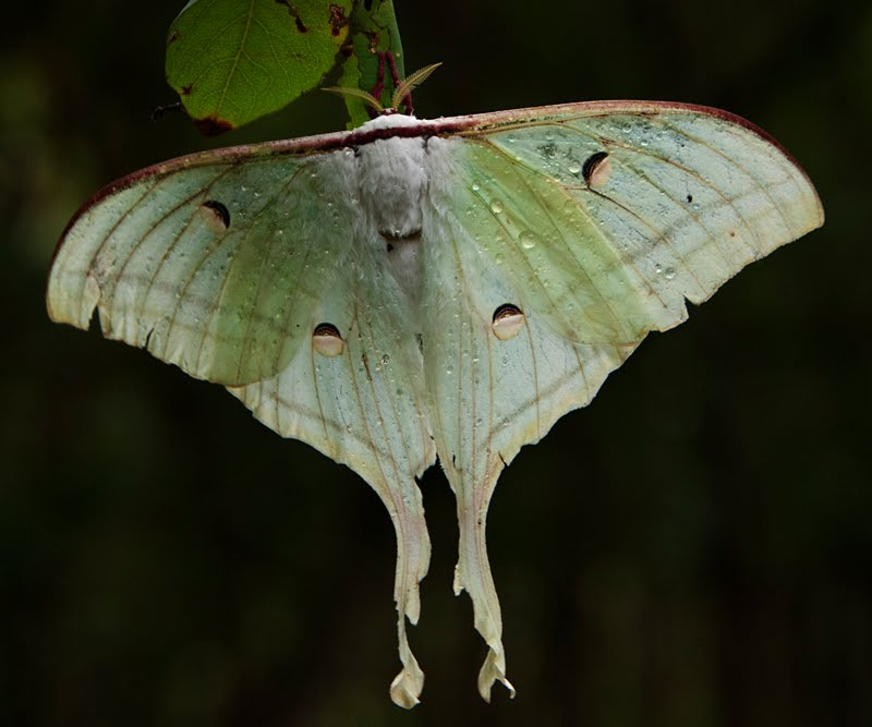Indian Moon Moth – Too drenched to fly