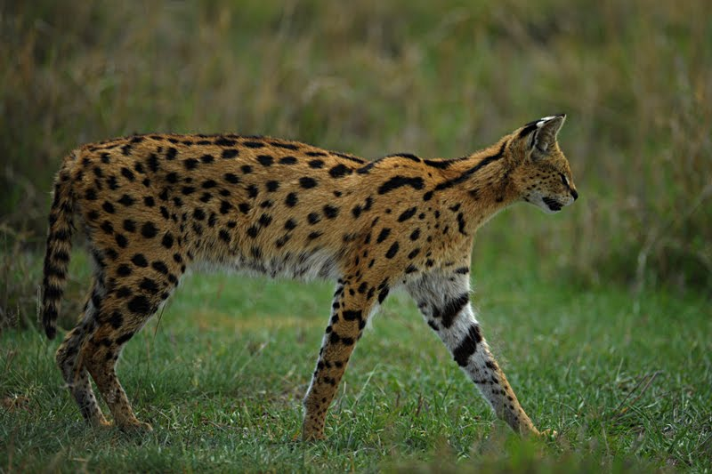 Animals of Africa #3 – Serval cat