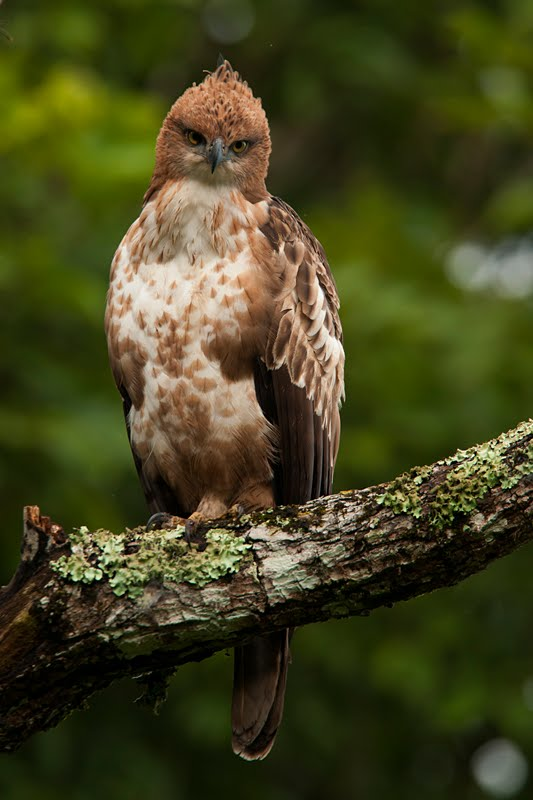 Birds of India #76 : Portfolio of a Juvenile Crested Hawk Eagle