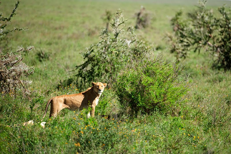 Animals of Africa #4 – Siesta time with African Lions