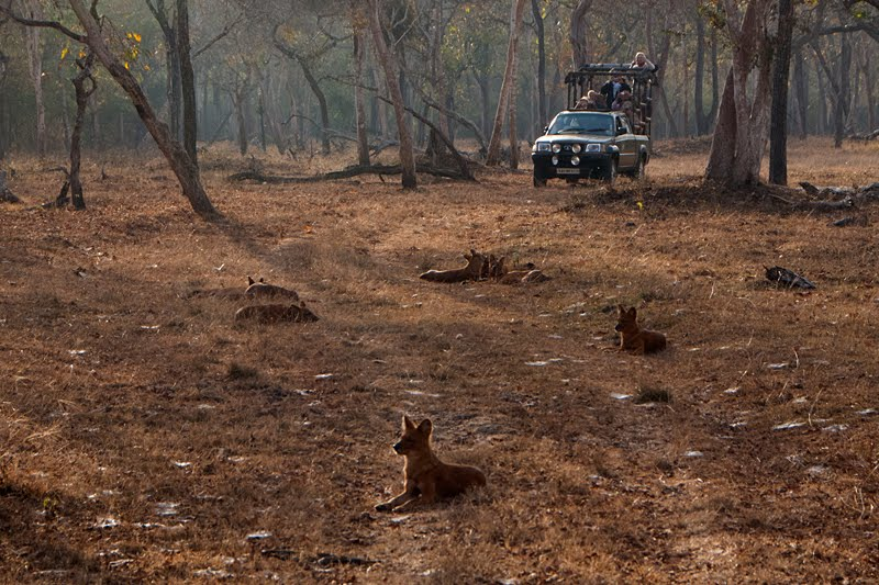 Social face of the lethal pack hunters – Dhole (Wild Dog)