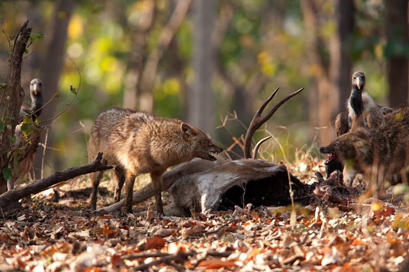 Animals of India #59 : Jackals feasting on a Chital Carcass