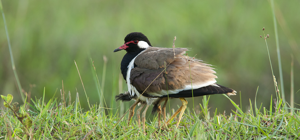 Birds of India #78 : Red-wattled Lapwing protecting its young