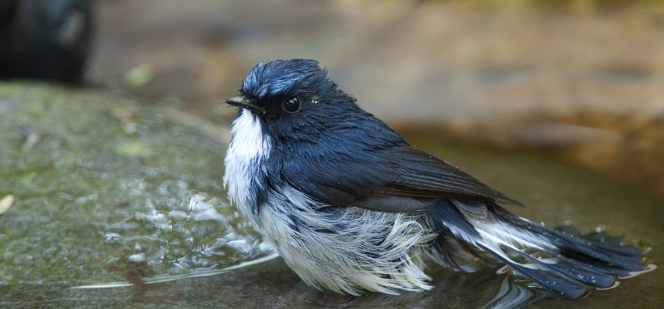 Cooling off with a Slaty Blue Flycatcher in Corbett National Park