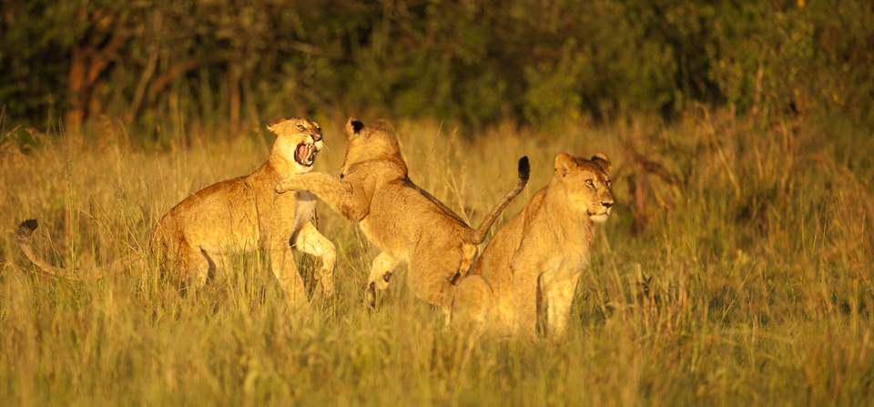 Dancing with African Lions in Serengeti National Park