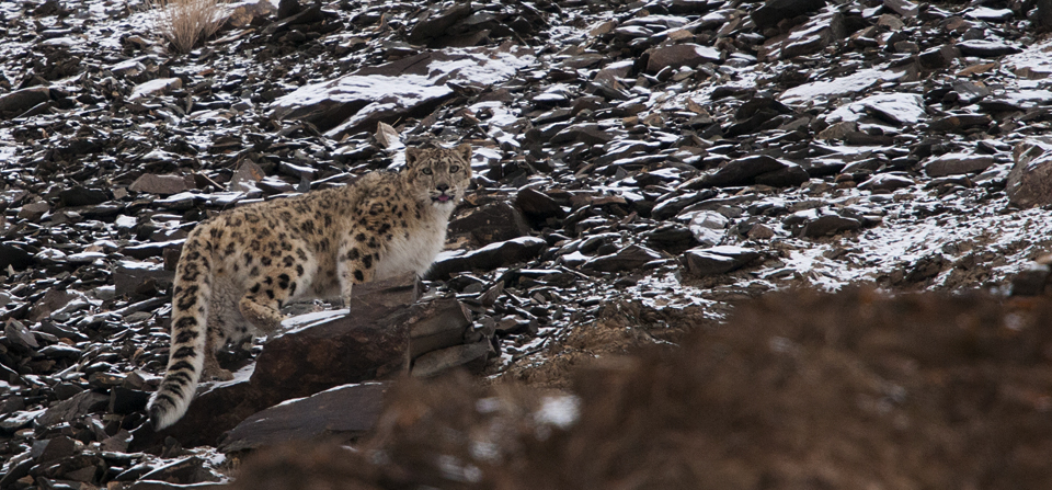 Animals of India #63 : Snow Leopard – In search of the 'Ghost of the Mountains'