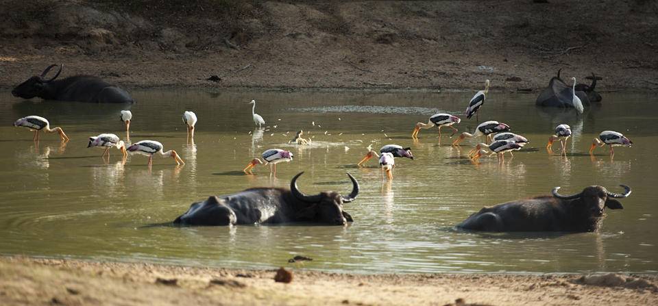 Reptiles of Sri Lanka #2: The lone Crocodile amongst the Buffaloes and Storks