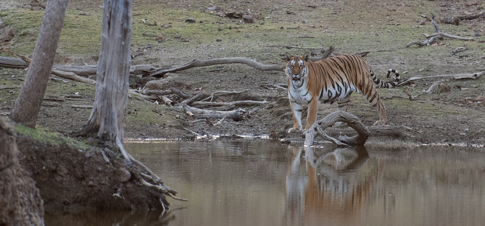 Animals of India #67 : The waiting game – Bengal Tiger