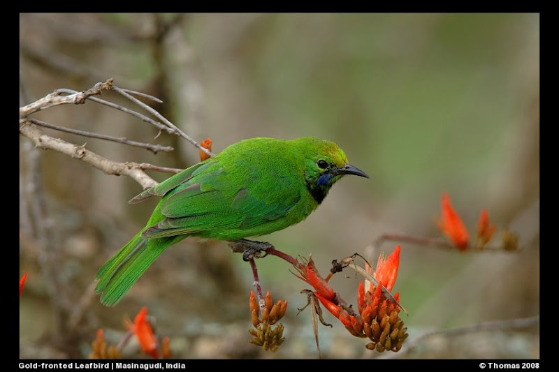 Gold-fronted Leafbird feeding on cherries at Forest Hills, Masinagudi