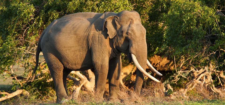 Animals of Sri Lanka #5 : Elephants wallowing in water