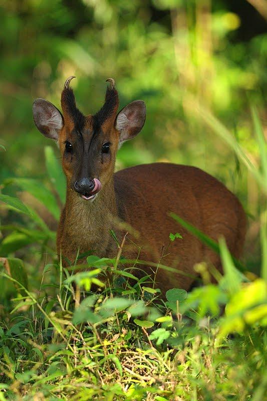 animals  india  barking deer  deer  tusks