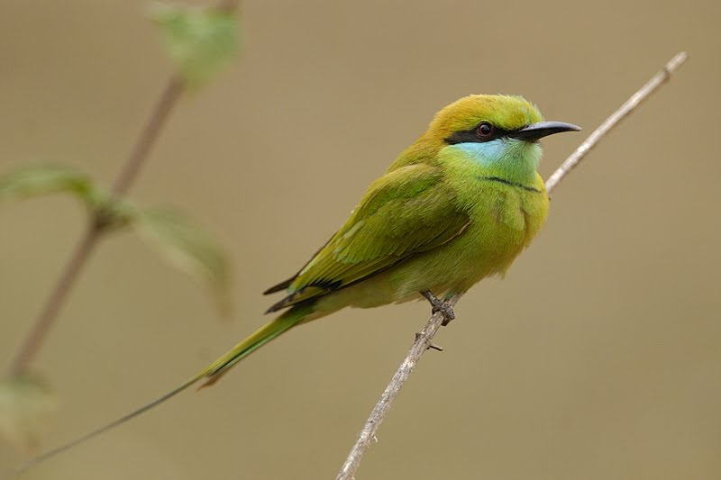 Birds of India #34 – Little Green Bee Eater