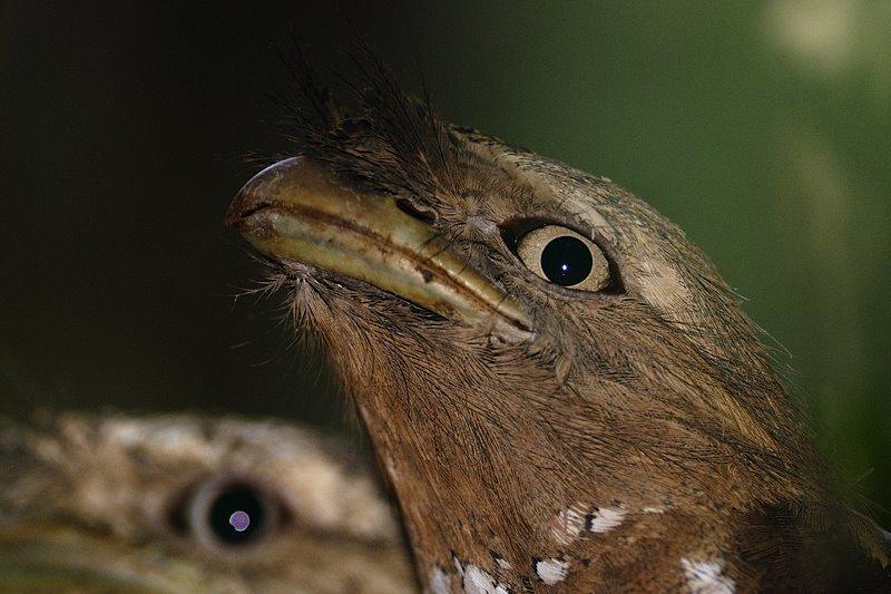 Sri Lankan Frogmouth in Thattekad Bird Sanctuary