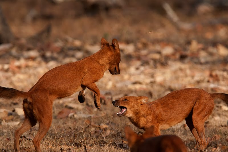 Animal pictures - Dhole